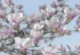 8-738 Magnolia