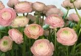 8-894 Gentle Rosé